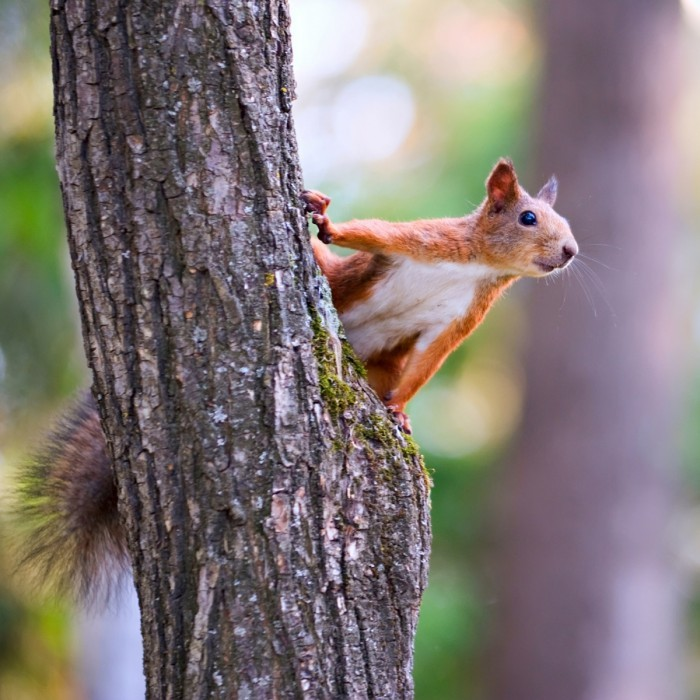 Tree with Squirrel Fotolia 34470951 M4 700x700 Белочка на дереве   Squirrel on a tree