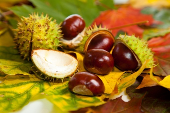 chestnuts conkers 700x466 Каштаны   Chestnuts