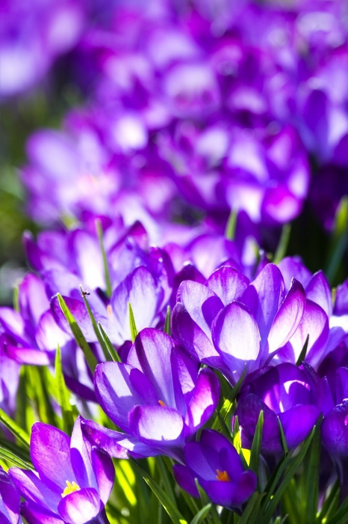 crocus fotolia 20128343 681x1024 Сиреневые цветы   Purple flowers