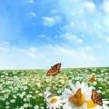 Поле с ромашками - Field with daisies