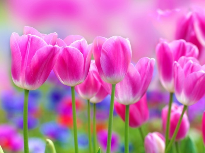 Сиреневые тюльпаны — purple tulips