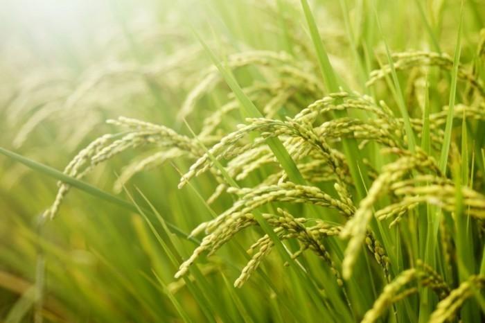 shutterstock 94860520 700x466 Фон травы   Grass background