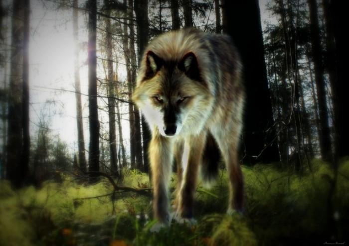 1121217 700x495 Волк   Wolf