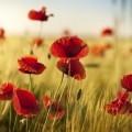 Маки в поле - Poppies in the field