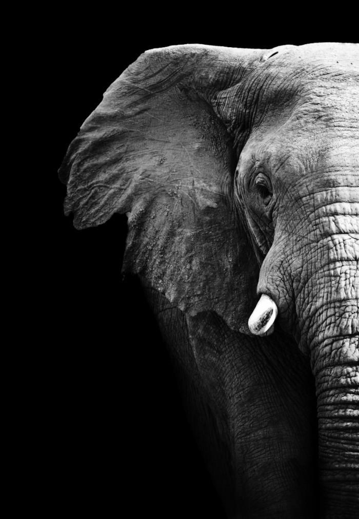 shutterstock 93816259 700x1013 Слон   Elephant