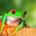 Лягушка - Frog