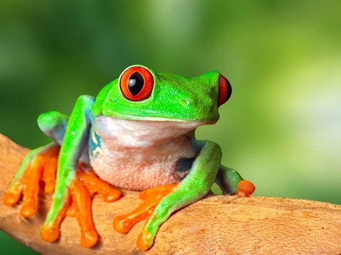 Лягушка   Frog