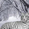 Тигр в снегу - Tiger in the snow