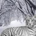 Тигр в снегу - Tiger in the snow
