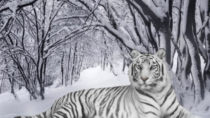 25217 snow tiger in snow 700x393 Тигр в снегу   Tiger in the snow