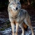 Волк - Wolf