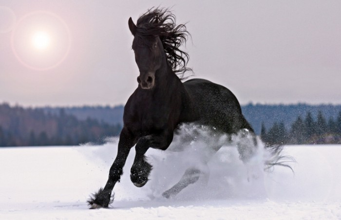 Fotolia 13080695 Subscription L 700x453 Черная лошадь   Black Horse