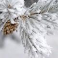 Заснеженная ветка - Snow-covered branch