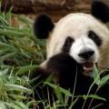 Панда - Panda