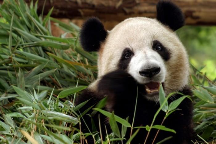 Fotolia 21442122 Subscription Monthly L 700x466 Панда   Panda