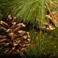 Шишка на елке - Bump on the Christmas tree