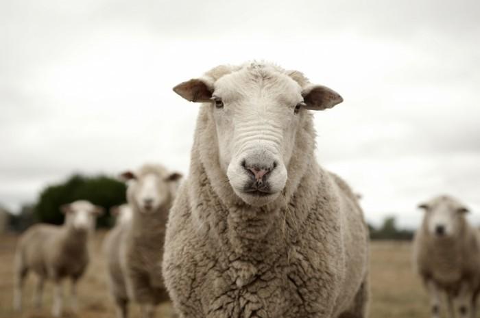 dollarphotoclub 63770624 700x465 Овечка   Lamb