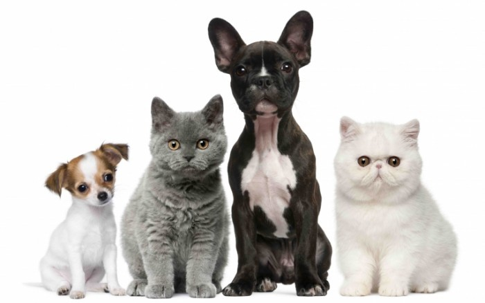 shutterstock 73795300 r 700x438 Коты и собаки   Cats and dogs