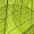 Текстура листья - Texture of the leaves