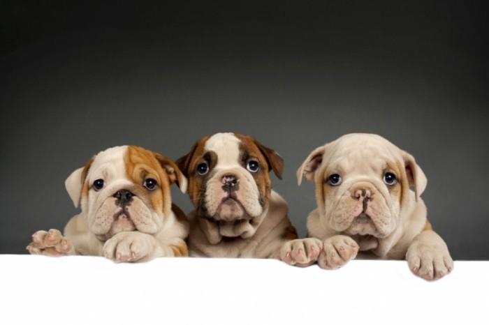Dollarphotoclub 63288556 700x466 Собаки   Dogs