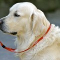 Собака со свистком - Dog whistle
