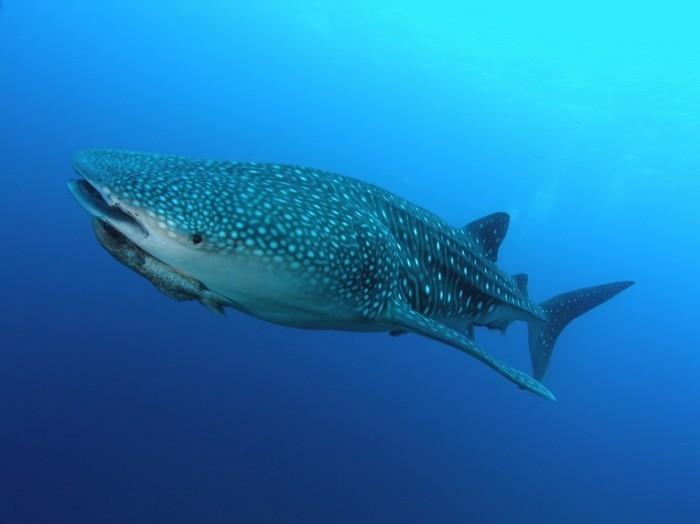 Dollarphotoclub 2236951 700x524 Акула   Shark