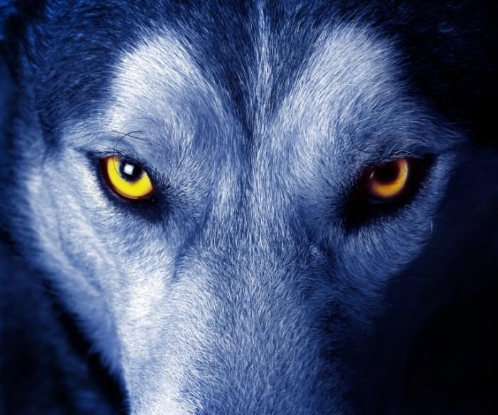 Dollarphotoclub 28227019 700x583 Глаза волка   Wolf eyes