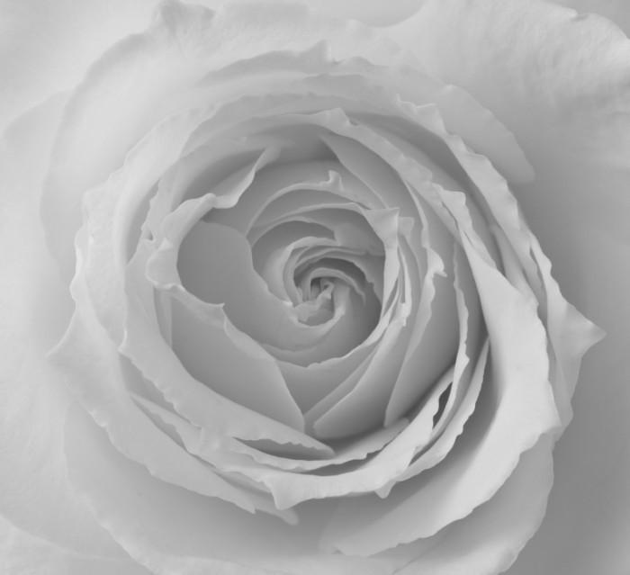 dollarphotoclub 66040356 700x639 Белая роза   White rose
