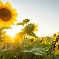 Подсолнухи - Sunflowers