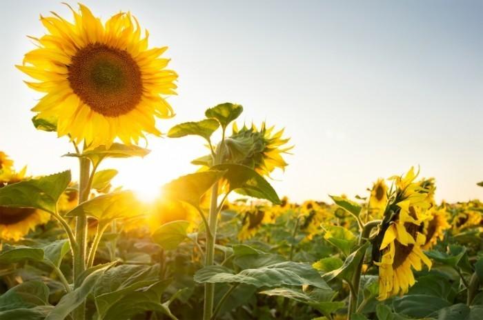 INBV Sunflowers 1 shutterstock 700x464 Подсолнухи   Sunflowers