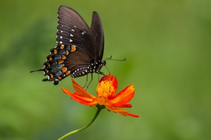 shutterstock 130113401 700x466 Бабочка на цветке   Butterfly on a flower