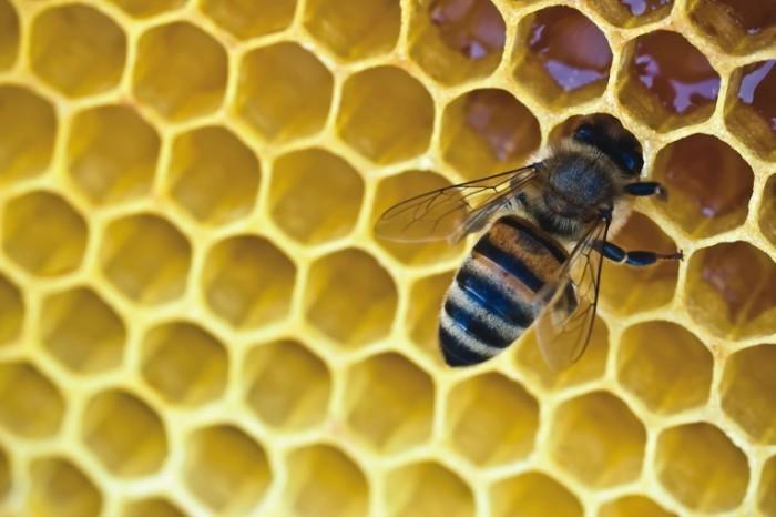 shutterstock 109967177 700x466 Пчела в сотах   Bee comb