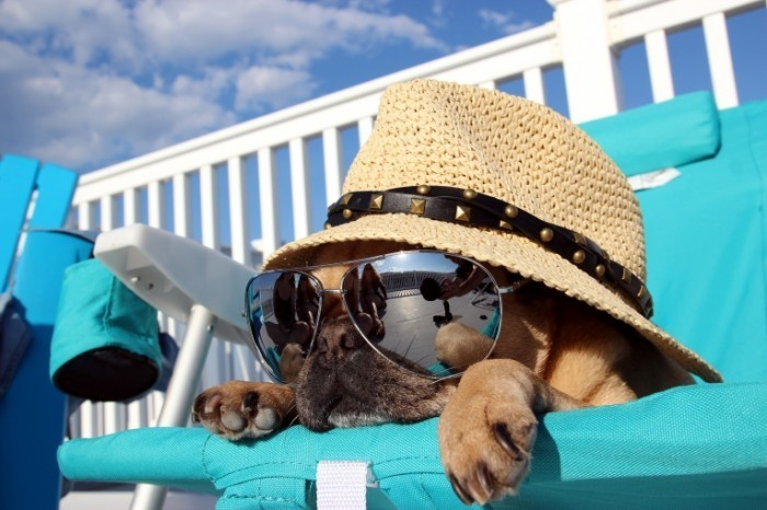 shutterstock 195594704 700x466 Собака в шляпе и очках   Dog in a hat and sunglasses