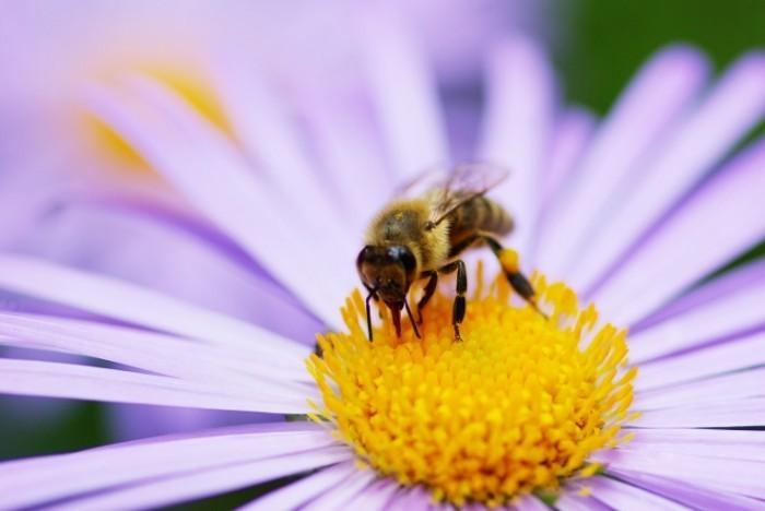 shutterstock 46531258 700x468 Пчела на цветке   Bee on flower
