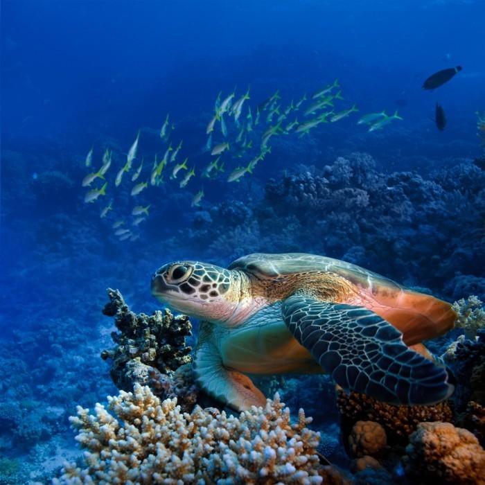 shutterstock 89290870 700x700 Черепаха под водой   Turtle under water