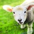 Овечка - Lamb