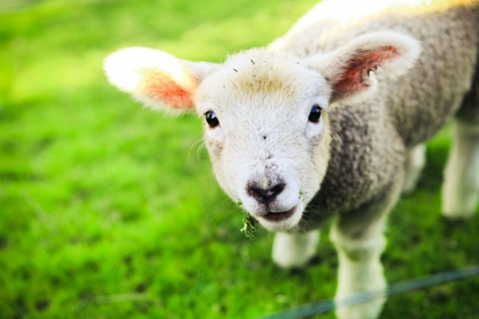 11842315 l 700x466 Овечка   Lamb
