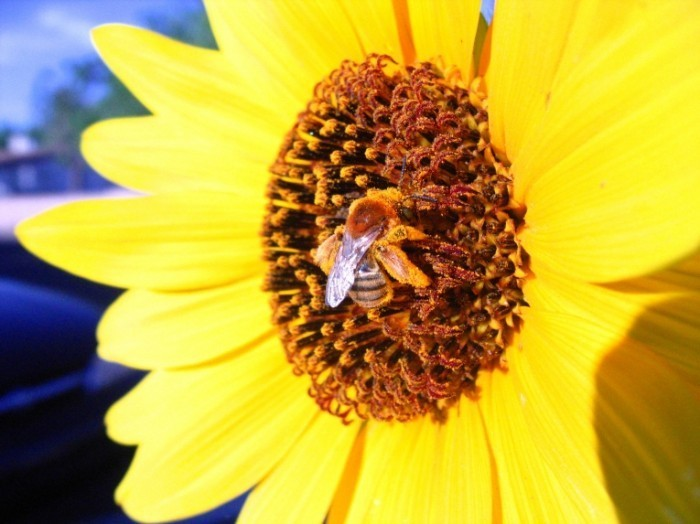 Bee On Yellow Flower by Dave Stubblefield Dreamstime Stock Photos 700x524 Подсолнух   sunflower