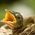 Птенчик в гнездышке - Chick in the nest