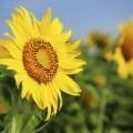 Подсолнух - Sunflower