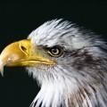 Орел - Eagle