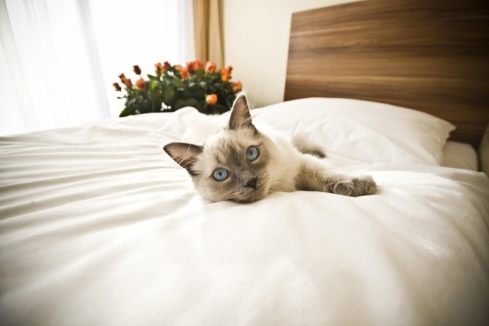 shutterstock 129374264 700x466 Кот на постели   Cat on the bed