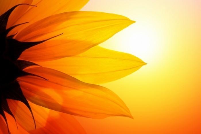 sunflower dreamstime web 700x465 Подсолнух   Sunflower
