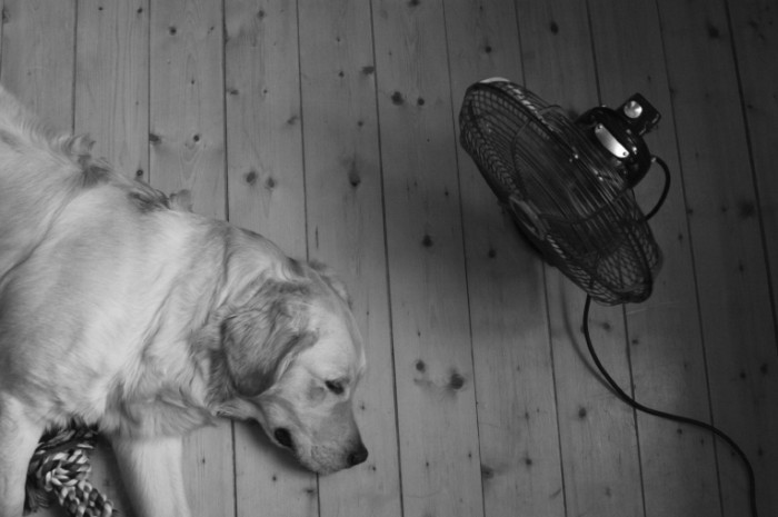 Dog Fan black and white may 2011 istock 1 700x465 Собака возле вентелятора   Dog near a fan