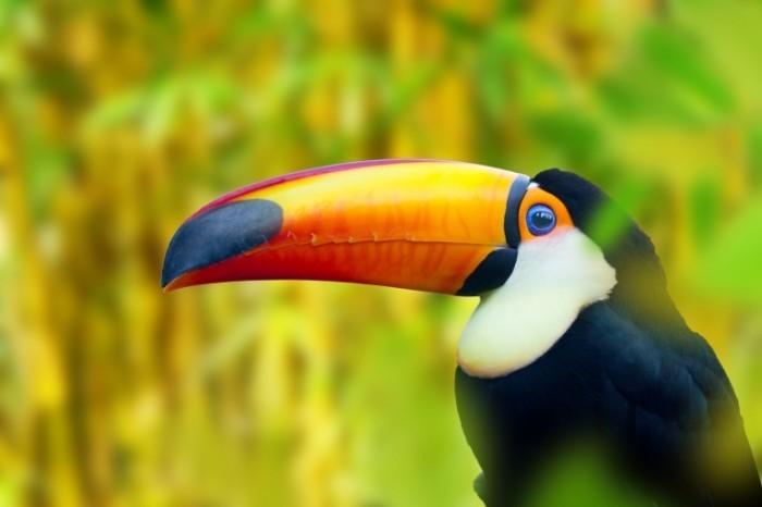Пеликан   Pelican