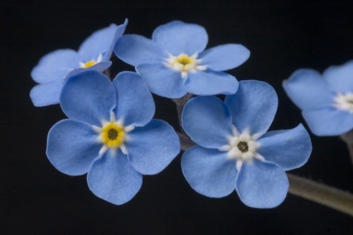 Голубые цветки   Blue flowers