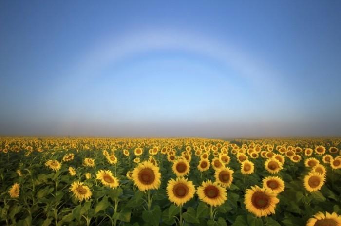 istock 000046422798 medium 700x465 Поле подсолнухов   Field of sunflowers