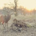 Олень - Deer