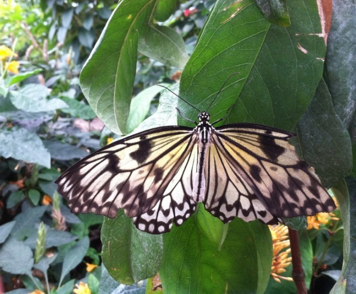 1591 700x579 Бабочка   Butterfly