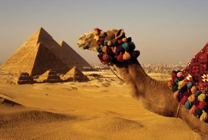 ISTOCK 1 700x471 Верблюд и пирамиды   Camel and pyramids